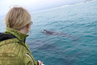 Südafrika South Africa Hermanus Kap Walker Bay Whale Watching Walbeobachtung Southern Right Charters Whale Wal südlicher Glattwal Südkaper Katamaran ganz nah