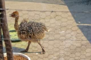 Südafrika South Africa Kleine Karoo Oudtshoorn Schoemanshoek Cango Ostrich Show Farm Vogel Strauß Straußenfarm Küken