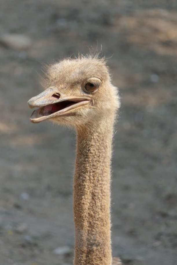 Südafrika South Africa Kleine Karoo Oudtshoorn Schoemanshoek Cango Ostrich Show Farm Vogel Strauß Straußenfarm
