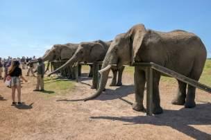 Afrika Südafrika South Africa Garden Route Knysna Elephant Park Elefanten füttern