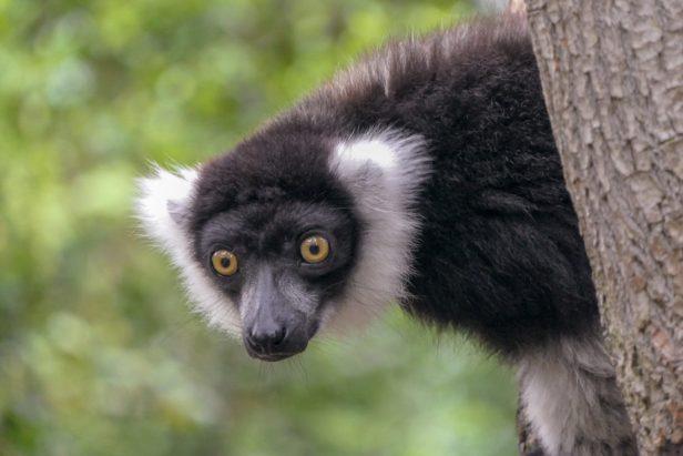 Südafrika South Africa Garden Route Kap Plettenberg Bay Monkeyland Saasa Affen Lemure Schwarzweißer Vari