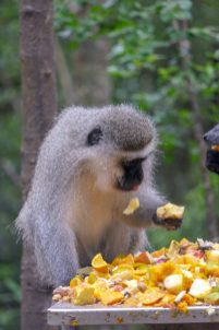 Südafrika South Africa Garden Route Kap Plettenberg Bay Monkeyland Saasa Affen Grünmeerkatze Velvet Monkey
