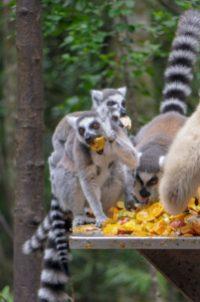 Südafrika South Africa Garden Route Kap Plettenberg Bay Monkeyland Saasa Affen Lemuren Katta