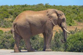 Südafrika South Africa Garden Route Ostkap Addo Elephant Nationalpark Safari Tiere Elefant Wasserloch Hapoor Dam