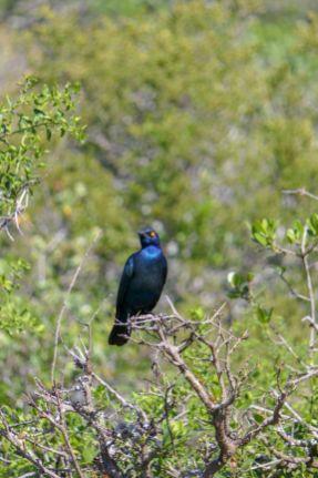 Südafrika South Africa Garden Route Ostkap Addo Elephant Nationalpark Safari Tiere Vogel Star Glanzstar