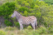 Südafrika South Africa Garden Route Ostkap Sibuya Game Reserve Wildreservat Game Drive Safari Zebra