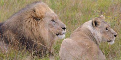 Südafrika South Africa Garden Route Ostkap Sibuya Game Reserve Wildreservat Game Drive Safari Löwe Löwin