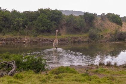 Südafrika South Africa Garden Route Ostkap Sibuya Game Reserve Wildreservat Game Drive Safari Giraffe
