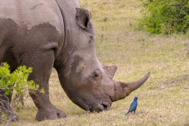 Südafrika South Africa Garden Route Ostkap Sibuya Game Reserve Wildreservat Morgen Safari Game Drive Nashorn Rhino Glanzstar