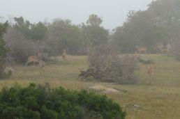 Südafrika South Africa Garden Route Ostkap Sibuya Game Reserve Wildreservat Morgen Safari Game Drive Nebel Impala