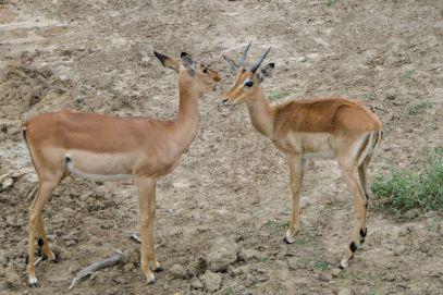 Südafrika South Africa Garden Route Ostkap Sibuya Game Reserve Wildreservat Morgen Safari Game Drive Antilope Impala