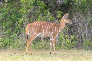 Südafrika South Africa Garden Route Ostkap Sibuya Game Reserve Wildreservat Safari Game Drive Antilope Nyala