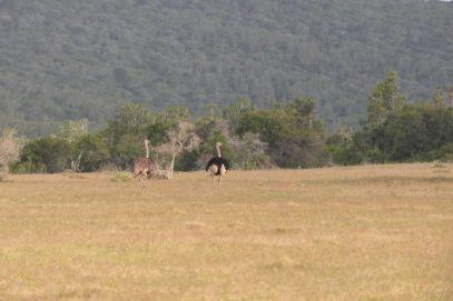 Südafrika South Africa Garden Route Ostkap Sibuya Game Reserve Wildreservat Safari Game Drive Vogel Strauß