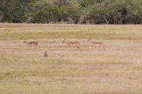 Südafrika South Africa Garden Route Ostkap Sibuya Game Reserve Wildreservat Safari Game Drive Antilope Impala Affe