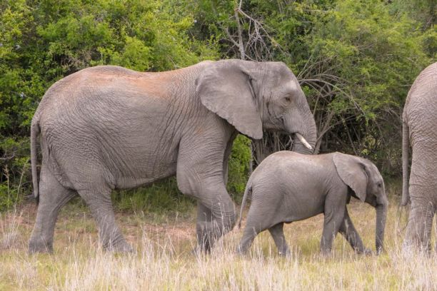 Südafrika South Africa Garden Route Ostkap Sibuya Game Reserve Wildreservat Safari Game Drive Elefanten
