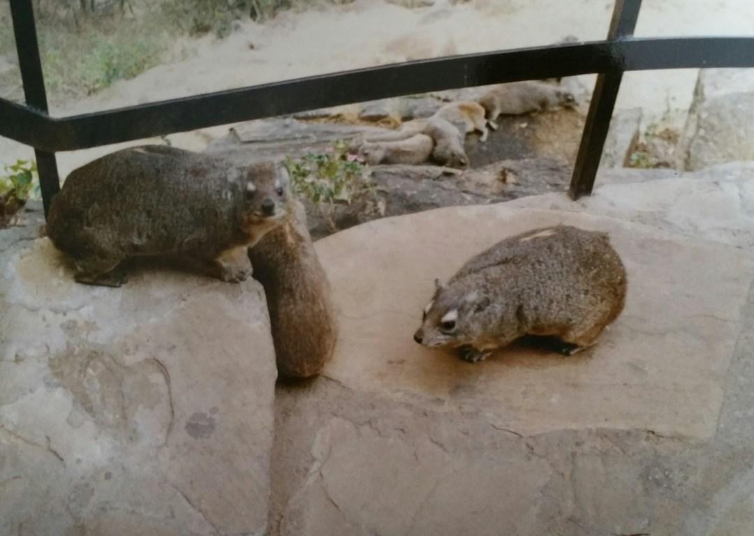 Wombats, die gab es dort überall, in der Safari Lodge.
