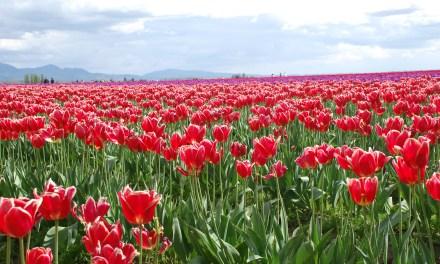 Tulip Festival in Skagit Valley