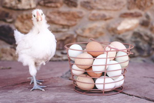 Terra Farm + Manor Chicken and eggs