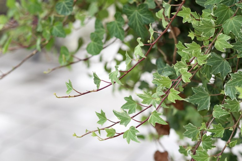 English ivy to purify home air quality