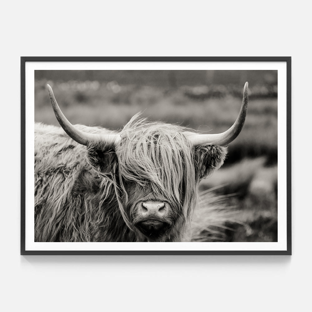 wooly highlander cow