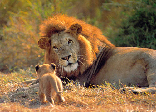 Lion with Kid