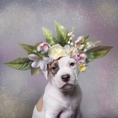 All portraits by Sophie Gamand, Flower Power: Pit Bulls of the Revolution, 2014-ongoing