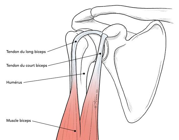 Anatomie des tendons du biceps