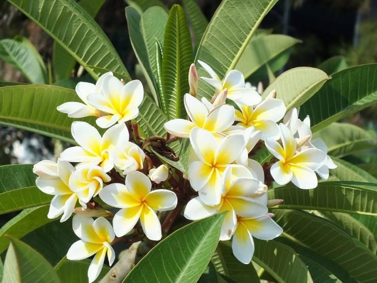معلومات عن شجرة الياسمين الهندي الوصف متطلبات النمو والعناية إضاءات عالمية