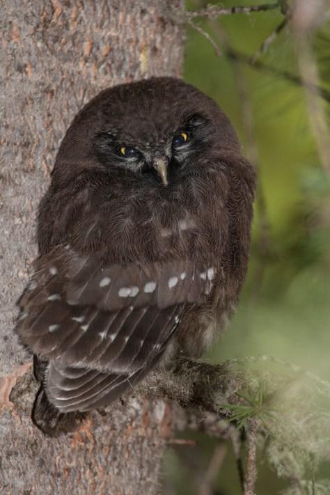 Boreal Owl Fledgling