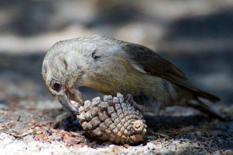 Female Cassia Crossbill removing seed from cone