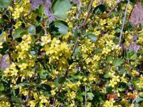 BGolden Currant flower