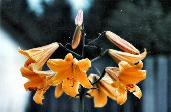 Lilies - Bonney LakeA
