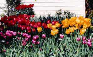 tulips, mixed colors