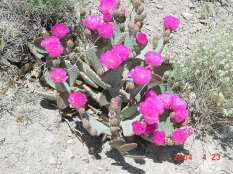 Beavertail Cactus - Opunti basilaris