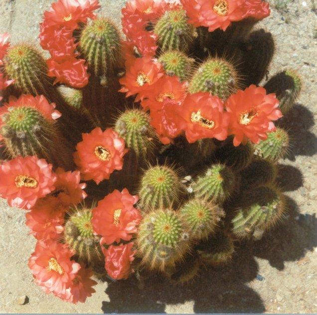 Cactus, Vivian's Garden - Hesperia, CA - 1990 - 3