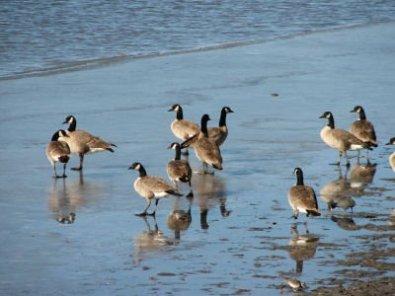 Canada Geese - PNWR