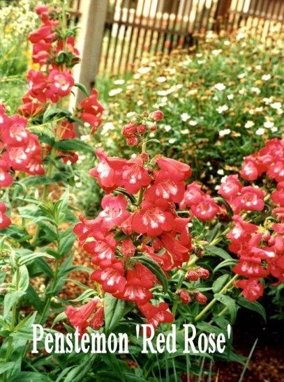 Penstemon 'Red Rose'
