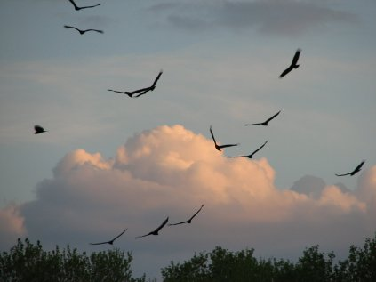 Turkey Vultures, Mar 21, 07 010