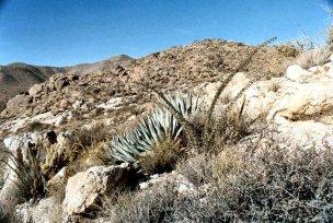 Agave deserti & Ocotillo,Anza-Borrego SP, CA