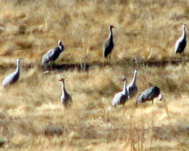 ill Cranes 004
