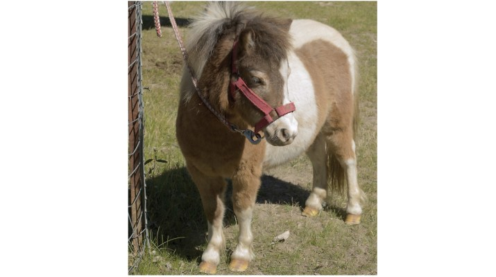 Mini-Joys: small therapy horses