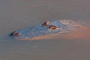 Alligator at South Padre Island, TX