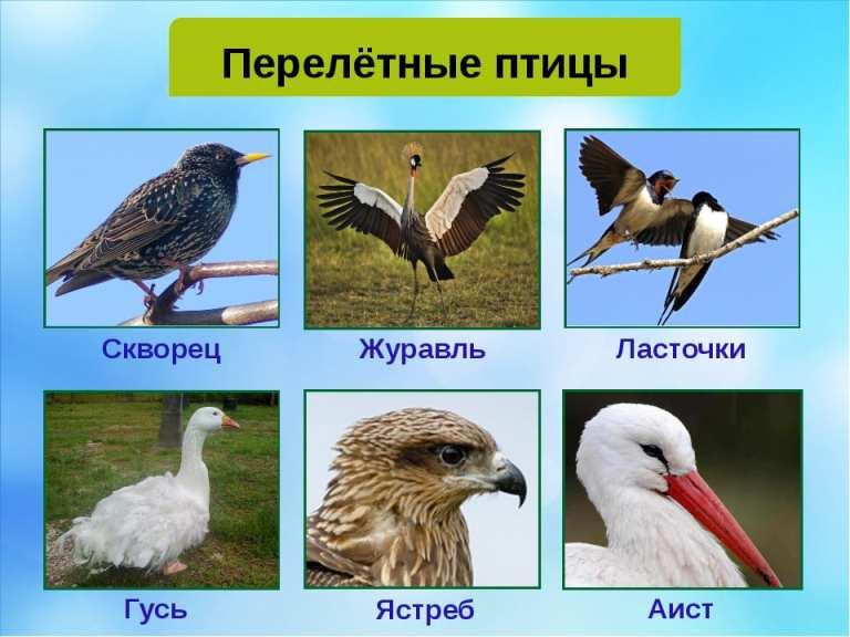 Перелётные птицы с названиями для детей