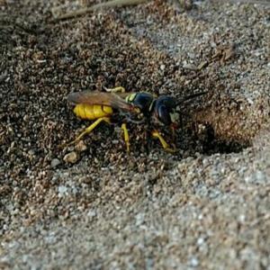 Pterygota, Hymenoptera