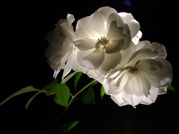 fleur-nuit-e.JPG
