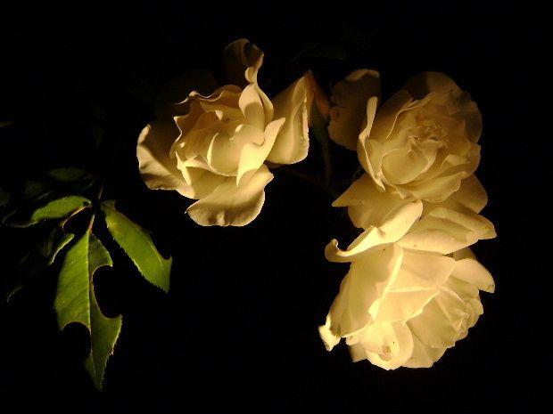 fleur-nuit-g.JPG
