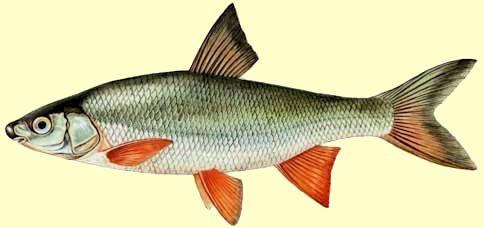 """Résultat de recherche d'images pour """"poisson de rivière"""""""