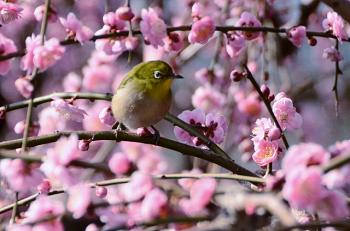 梅の花と鶯