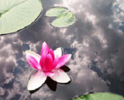 水面の蓮の花と葉