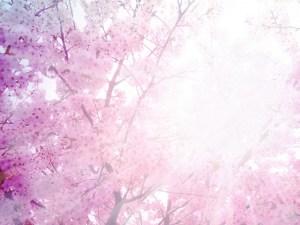 満開の桜の花と日の光
